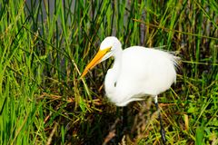 A Great Egret stock images
