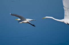 Great Egret Chase. Across a Clear Blue Sky Royalty Free Stock Photography