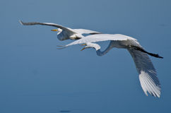 Great Egret Chase. In a Blue Sky Stock Photos