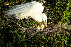 Great Egret And Chick Stock Image
