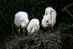 Great Egret Chick Royalty Free Stock Image