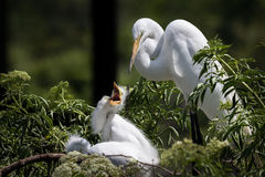 Great Egret and Chicks. A great egret with a hungry chick Royalty Free Stock Photo
