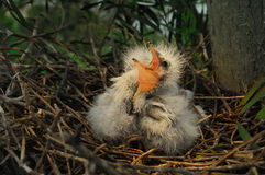 Free Great Egret Chicks In Nest Stock Image - 49863821