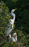 Great Egret with Chicks Stock Photo