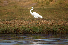 Great Egret - Chobe River, Botswana, Africa. Great White Egret in Chobe River, Chobe National Park, Botswana, Africa Stock Image