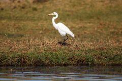 Great Egret - Chobe River, Botswana, Africa Royalty Free Stock Photography