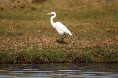 Great Egret - Chobe River, Botswana, Africa Royalty Free Stock Photography