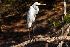 Great Egret - Chobe River, Botswana, Africa Royalty Free Stock Photo