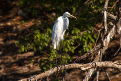 Great Egret - Chobe River, Botswana, Africa Stock Photo