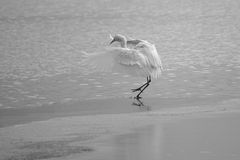 Great Egret. The close-up of a Great Egret landed on the ice. Scientific name:Ardea alba Royalty Free Stock Photo