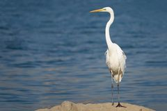Great Egret. The close-up of a Great Egret standing at riverside. Scientific name:Ardea alba Royalty Free Stock Photography