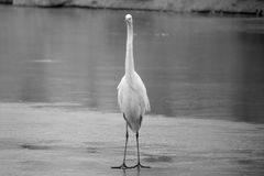 Great Egret. The close-up of a Great Egret stands on the ice. Scientific name:Ardea alba Stock Photography