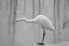 Great Egret. The close-up of a Great Egret stands in river. Scientific name:Ardea alba Stock Images