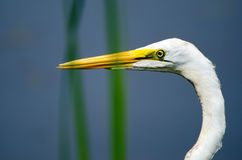 Great Egret Close-up, Walton County Georgia. Monroe GA, on Pond Stock Images