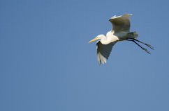 Great Egret Coming in for Landing While Flying in Blue Sky Stock Images