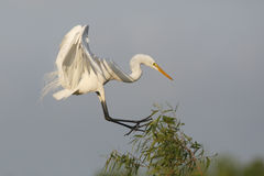 Great Egret Coming in For a Landing - High Island, Texas Royalty Free Stock Images