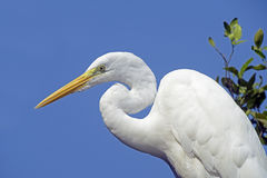 Great egret or common egret, a very common bird throughout Brazi. SANTOS, SP, BRAZIL - JULY 18, 2015 - Great egret or common egret, Ardea alba Ardeidae which royalty free stock photos