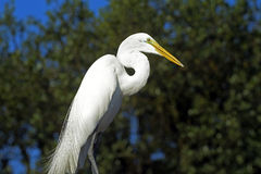 Great egret or common egret, a very common bird throughout Brazi. SANTOS, SP, BRAZIL - JULY 18, 2015 - Great egret or common egret, Ardea alba Ardeidae which royalty free stock photography