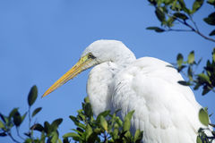 Great egret or common egret, a very common bird throughout Brazi. SANTOS, SP, BRAZIL - JULY 18, 2015 - Great egret or common egret, Ardea alba Ardeidae which royalty free stock image