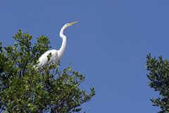 Great egret or common egret, a very common bird throughout Brazi. SANTOS, SP, BRAZIL - JULY 18, 2015 - Great egret or common egret, Ardea alba Ardeidae which stock image