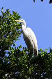 Great egret or common egret, a very common bird throughout Brazi. SANTOS, SP, BRAZIL - JULY 18, 2015 - Great egret or common egret, Ardea alba Ardeidae which stock photo