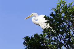Great egret or common egret, a very common bird throughout Brazi. SANTOS, SP, BRAZIL - JULY 18, 2015 - Great egret or common egret, Ardea alba Ardeidae which royalty free stock photo