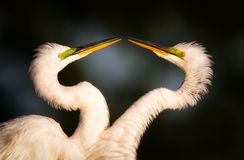Great Egret Courtship. Two great egrets courting on dark background face to face Royalty Free Stock Photos