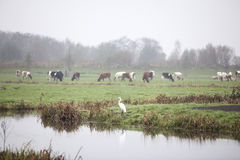 Great egret and cows in meadow in the netherlands Stock Image