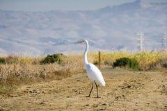 Great egret crossing a levee close to Alviso Marsh, San Jose, South San Francisco Bay, California royalty free stock photo