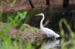 Great Egret on dark pond. Great Egret in flight in walton county georgia Stock Images