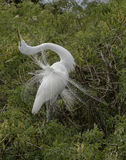 Great Egret displaying Stock Images