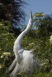Great egret displaying breeding plumage at a rookery in Florida. Stock Photography