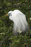 Great egret displaying breeding plumage at a rookery in Florida. Royalty Free Stock Photo