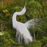 Great Egret Displaying in Breeding Season - Florida Royalty Free Stock Photography