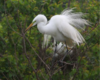 Great Egret Displaying its Breeding Plumage Royalty Free Stock Image
