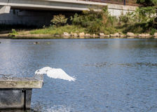 Great Egret Diving Royalty Free Stock Image