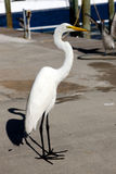 Great egret on a dock. Stock Photography