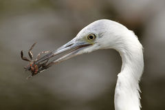 Great Egret Eating a Crab Royalty Free Stock Image