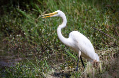 Great Egret eating fish, Walton County Georgia. White heron Great Egret fishing on pond in Monroe GA, Walton County Georgia Stock Photo
