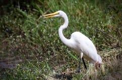 Great Egret eating fish, Walton County Georgia Stock Photo