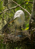 Great Egret with Eggs Stock Images