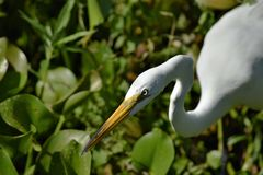 Great Egret with an almost evil look is focused on hunting its prey stock images