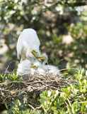 Great Egret Family. Great Egret mother feeding her young royalty free stock photo