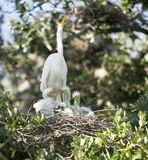 Great Egret family. Great Egret nesting with babies royalty free stock image