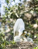 Great Egret Family. Great Egret mother feeding her young royalty free stock images
