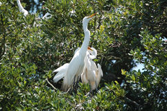 Great Egret family in the nest Stock Photography