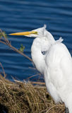 Great Egret with Feathers in the Wind Royalty Free Stock Images