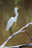 Great Egret Feeding on Fish. Great Egret yawns gaping down a fish from a pond Royalty Free Stock Photo