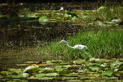 Great Egret Feeding in a Florida Wetlands Stock Images