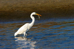 Great Egret Feeding. Stock Images